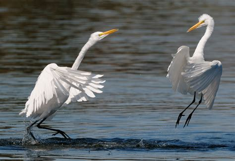 how to paint autumn egret painting packet books great egrets posturing egret fight 3 jpg