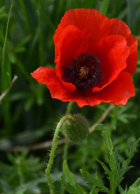 il papavero fiore papavero propriet 224 benefici utilizzo rimedi naturali e