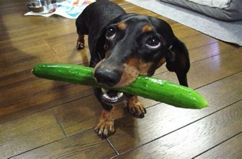 are cucumbers bad for dogs can dogs eat cucumber the healthy vegetables treats for your pets