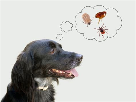 how do dogs get ticks the 10 best ways to get rid of prevent ticks on dogs petmd