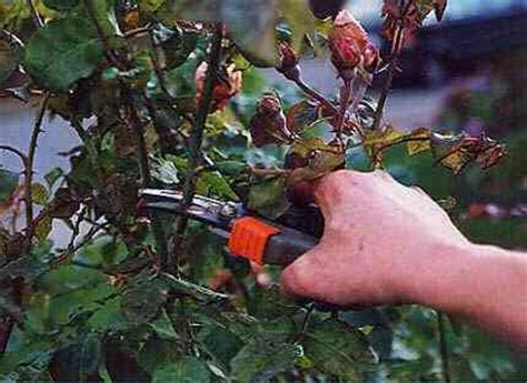 how to prune roses after they bloom