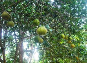 Bibit Jeruk Nipis Yang Bagus cara menanam jeruk bali dan perawatannya tanaman