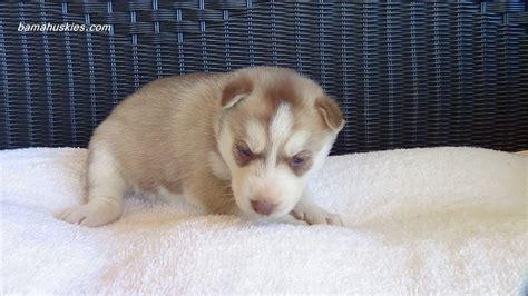3 week puppy s husky puppies 3 weeks 171 siberian husky puppies for sale siberian husky