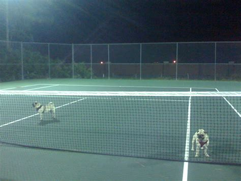 pug tennis tennis anyone the pug