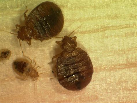 bed bugs in schools bed bug information lansing school district