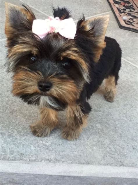 images of baby yorkies pictures of baby yorkies www imgkid the image kid has it