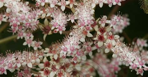 rodgersia pinnata perennial zones 4 9 full sun to