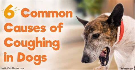 coughing in dogs 6 common causes of coughing in dogs