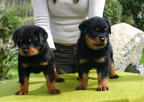 puppy rottweiler for adoption why to go for rottweiler puppies for adoption