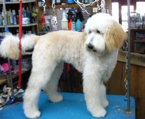 hair of the grooming grooming needs of the australian labradoodle