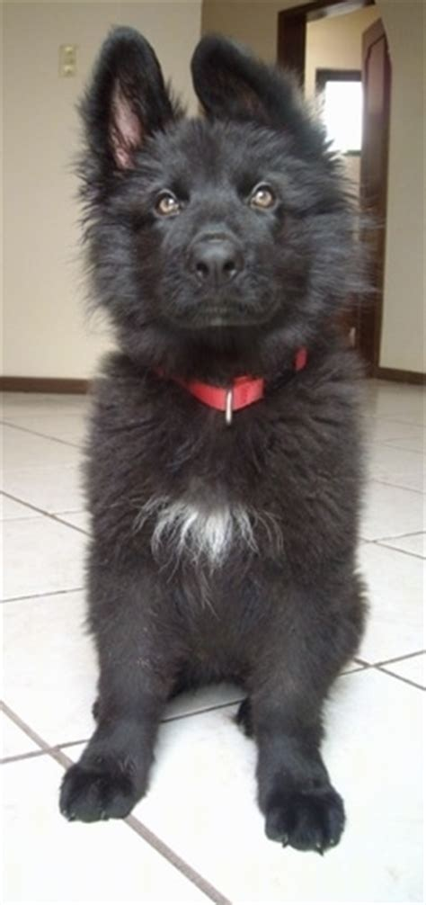 how much to feed a 7 week puppy how much to feed 7 week german shepherd puppy dogs in our photo