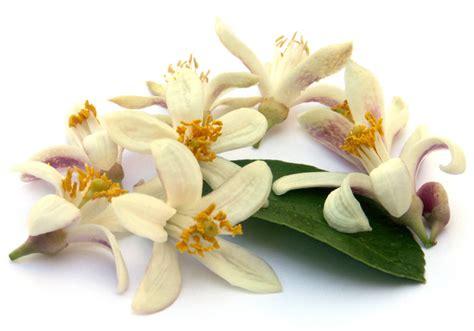 fiori d olio essenziale di neroli propriet 224 di neroli