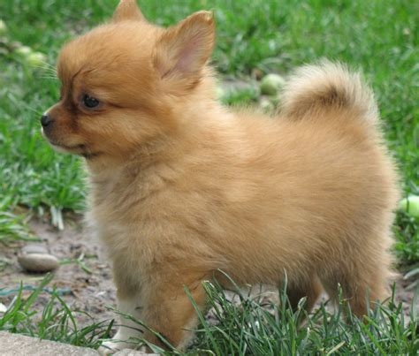 pomeranian cross breeds list puppies and upcoming litters breeds picture
