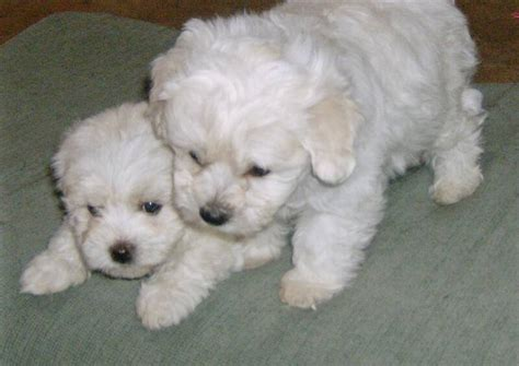 havanese breeders ct havanese puppies puppys and minis on