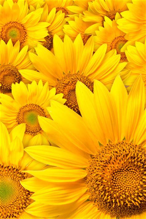 wallpaper for iphone sunflower sunflower 2 iphone wallpapers iphone 5 s 4 s 3g wallpapers