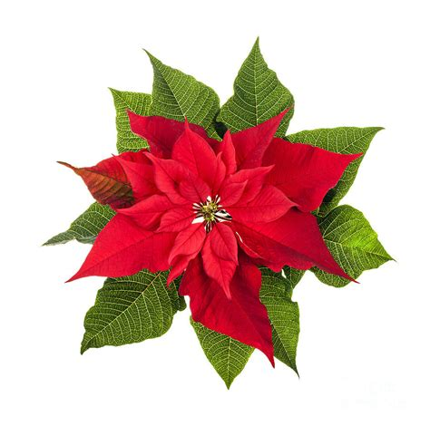christmas poinsettia photograph by elena elisseeva