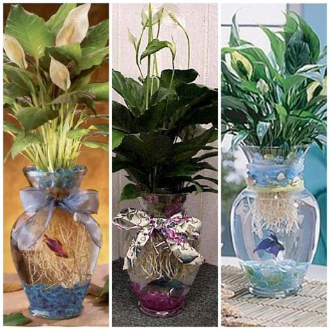 Betta Fish Vase by Betta Fish Vase Images Frompo