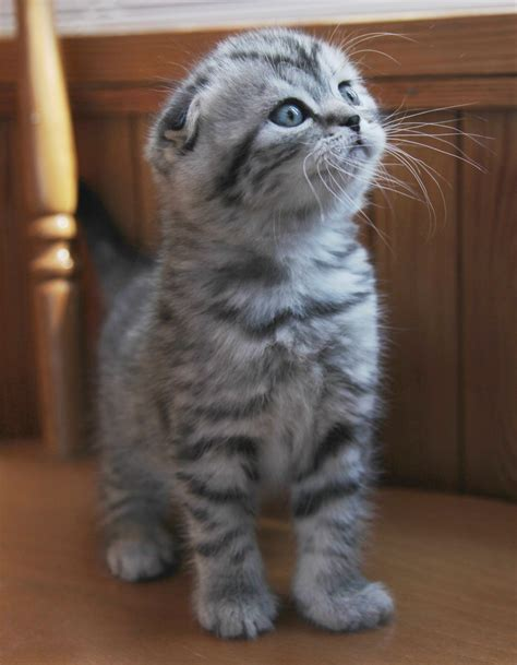 Scottish Fold Munchkin kittens for sale   Scottish Fold