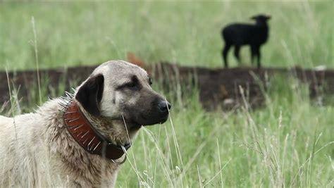 livestock guardian dogs terra 1007 livestock guardian dogs working on common ground lifeonterra