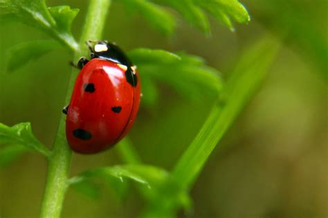 ladybugs in the house ladybugs image mag