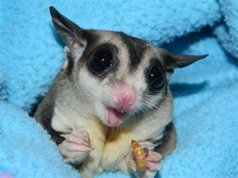 the compulsive ramblings of a philotherian sugar glider close up