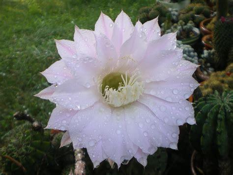 fiori di notte nonsolospine vilma