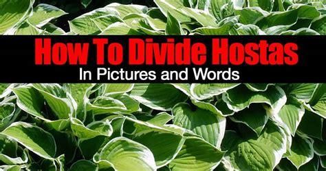 divide hostas  pictures  words