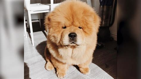 dogs that look like lions these dogs look so much like lions their owners can hardly leave the house without