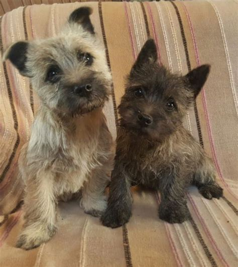 free cairn terrier puppies kusa registered cairn terrier clasf
