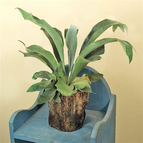 staghorn fern platycerium bifurcatum