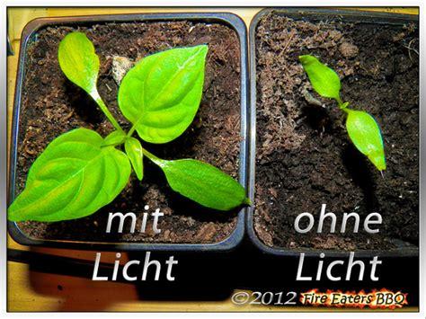 Pflanzen Ohne Licht by Eaters Bbq Ben 246 Tigen Chilis Bei Der Anzucht