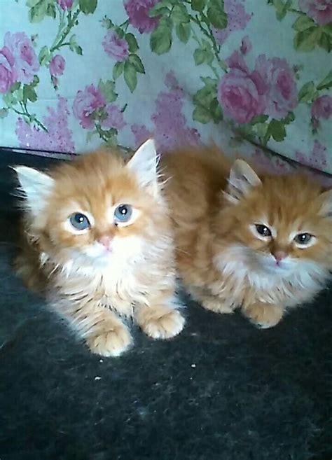 cuccioli gatti persiani in regalo immagini di gatti persiani wr39 187 regardsdefemmes