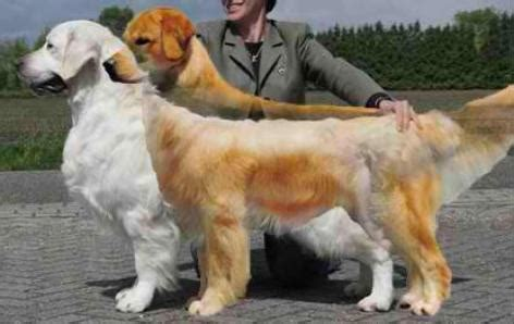golden journey retrievers golden journey retrievers
