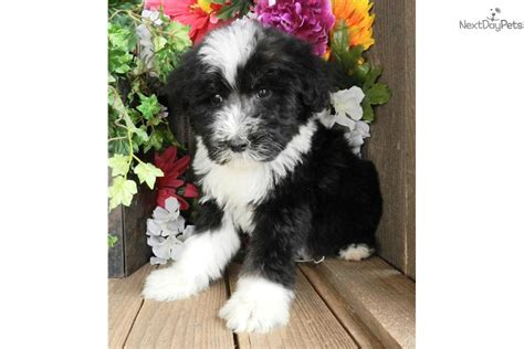sheep doodle puppies for sale meet dallas sheepadoodle a sheepadoodle puppy for