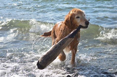 pacific golden retrievers the golden retriever exclusive nature park the pacific journal