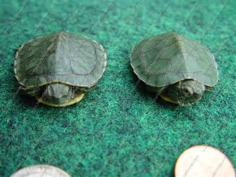 pets lands water turtles basic feeding