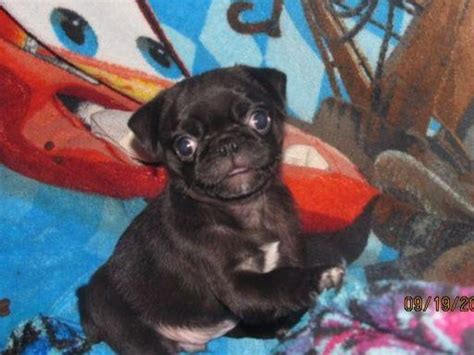 walk the line pug ranch walk the line pug ranch pug puppies for sale