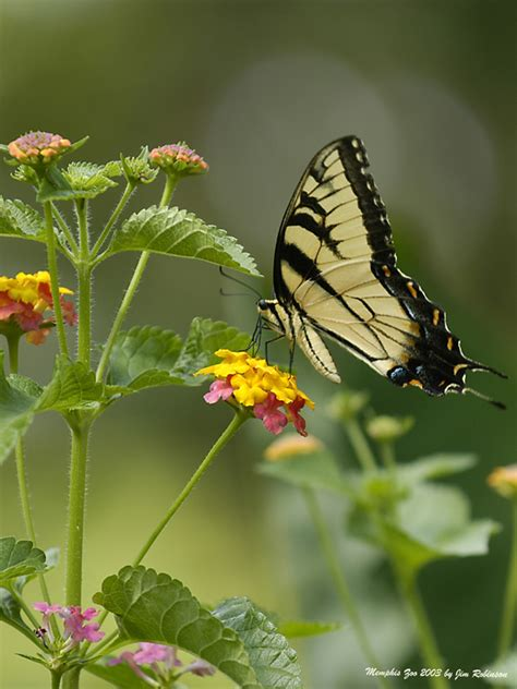 treklens virginia state insect tiger swallowtail photo