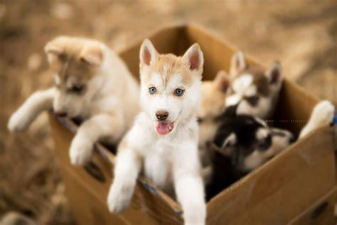 cute dog wallpapers for android desktop wallpaper box fonds d ecran chien chiot husky sib 233 rien bo 238 te mignon