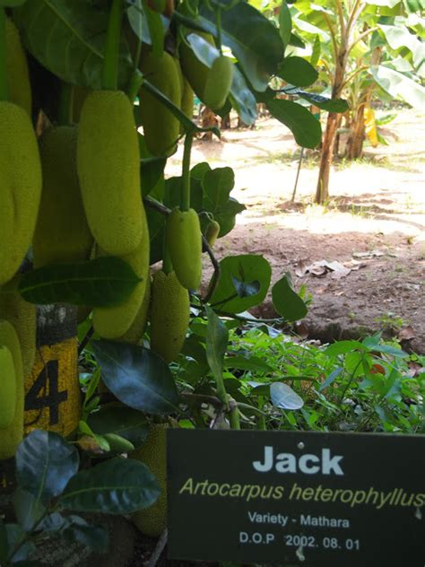 jackfruit  durian  ways