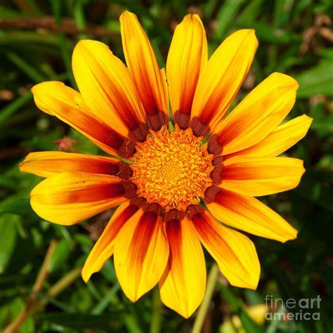fiori luiss gazania photograph by luis alvarenga