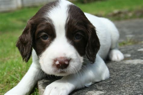 springer spaniel puppies for sale springer spaniel puppies for sale matlock derbyshire pets4homes