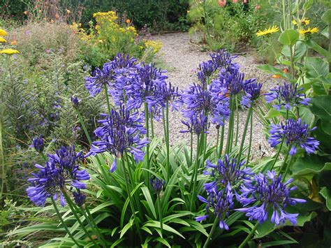 how to grow agapanthus in pots for better protection typesofflower com
