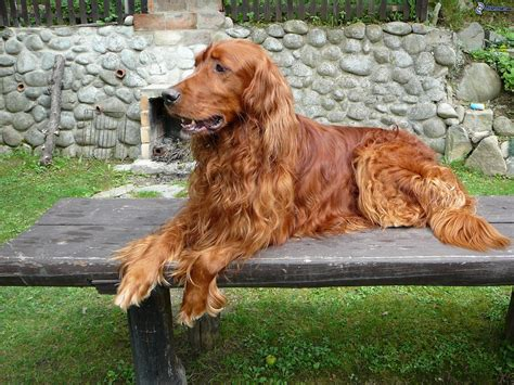 definition de setter bonny irish setter dog photo and wallpaper beautiful