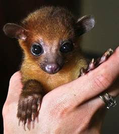 an exotic pet for you to choose kinkajous pet attack