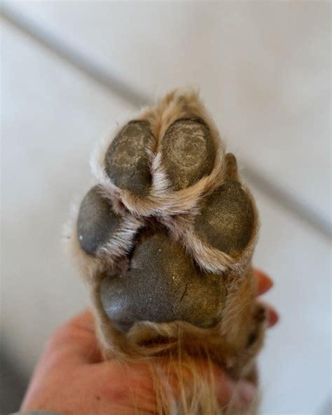 paw pad coming paw pad