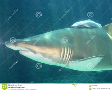 baby shark x2 mother shark and baby shark south africa stock image