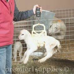 Record Birth Weight Premier S X Tuff Feeders At Work In One Of Our Lambing Jugs Happy Sheep Goat