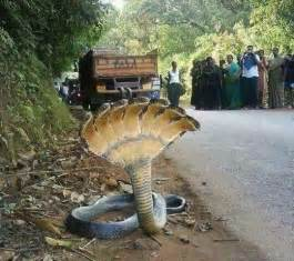 Seven headed snake in india real or fake hoax mythology and