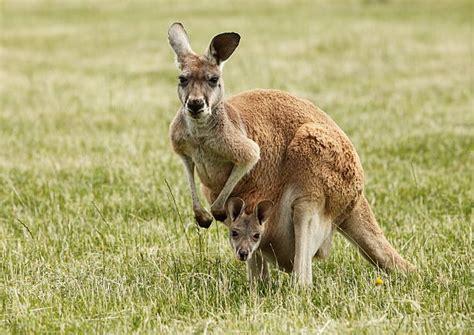 Boneka Kangaroo W Baby Pink free baby kangaroo images pictures and royalty free